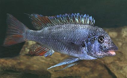 Petrochromis sp