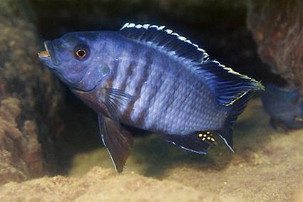 Petrotilapia nigra