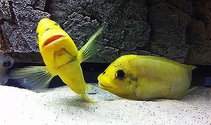 Petrochromis moshi