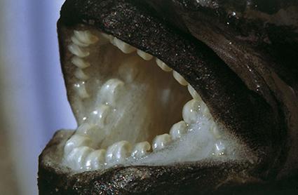 Plecodus straeleni