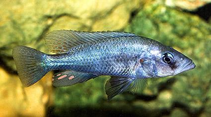 Prognathochromis sp