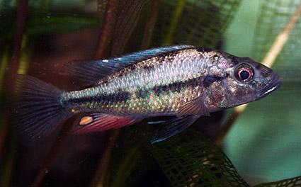 Prognathochromis perrieri