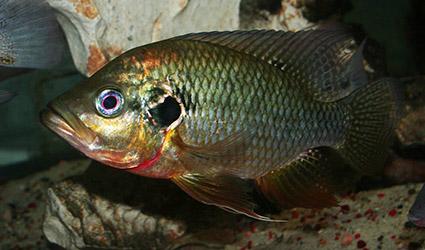 Pterochromis congicus