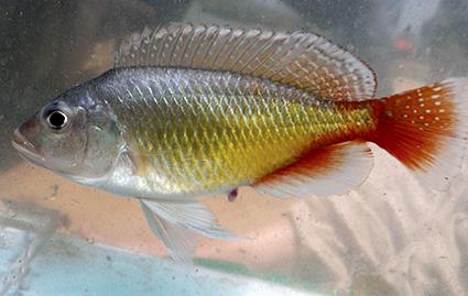 Pseudocrenilabrus pyrrhocaudalis