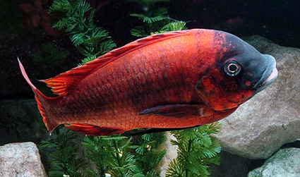 Petrochromis sp. Red
