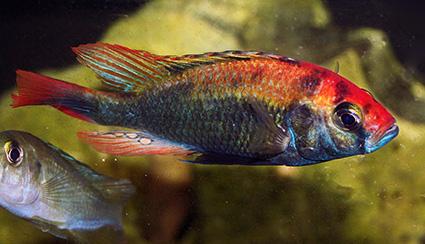 Haplochromis sp
