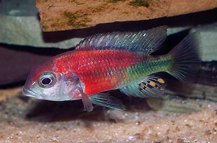 Ptyochromis sp