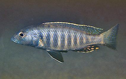 Sciaenochromis psammophilus