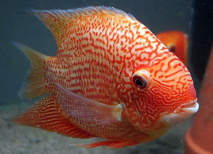 Red Spotted Severum