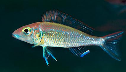 Callochromis stappersii