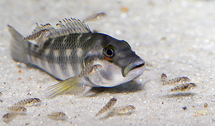 breeding cichlids