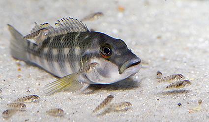 breeding cichlids