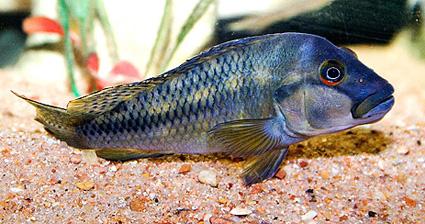 Orthochromis stormsi