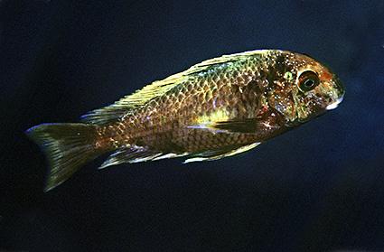 Tropheus moorii Isanga
