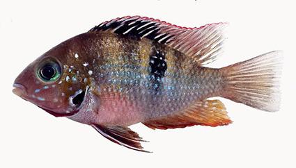 Thorichthys panchovillai