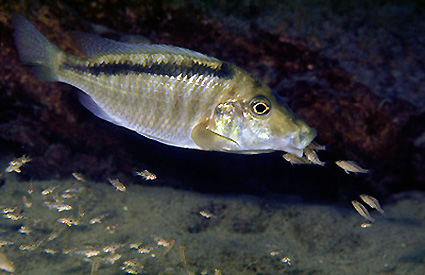 cichlid bowers