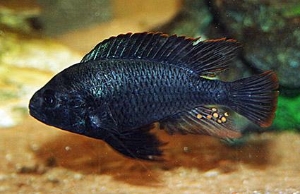 Thoracochromis sp