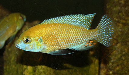 Unknown Thoracochromis