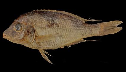 Trematocranus pachychilus