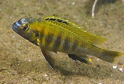 Tropheops novemfasciatus