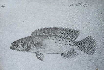 Drawing of Wallace's Pike Cichlid c.1852.