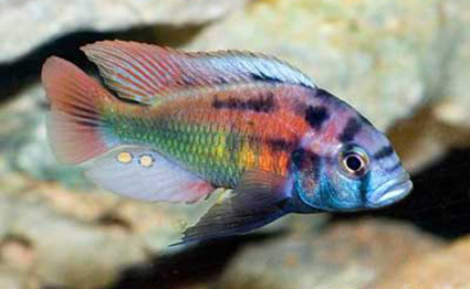 Xystichromis phytophagus. Photo by Dave Hansen