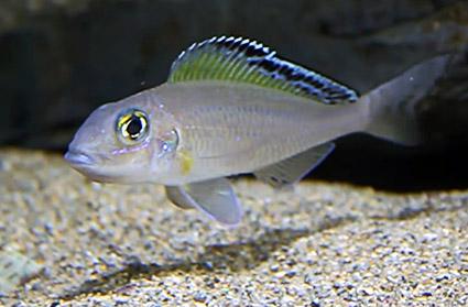 Xenotilapia spilopterus