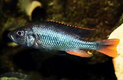 Yssichromis
